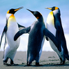 pingwin5kiślowy