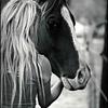 HorsesCavallo