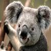 koala129