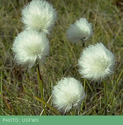 Arctic Willow Tundra