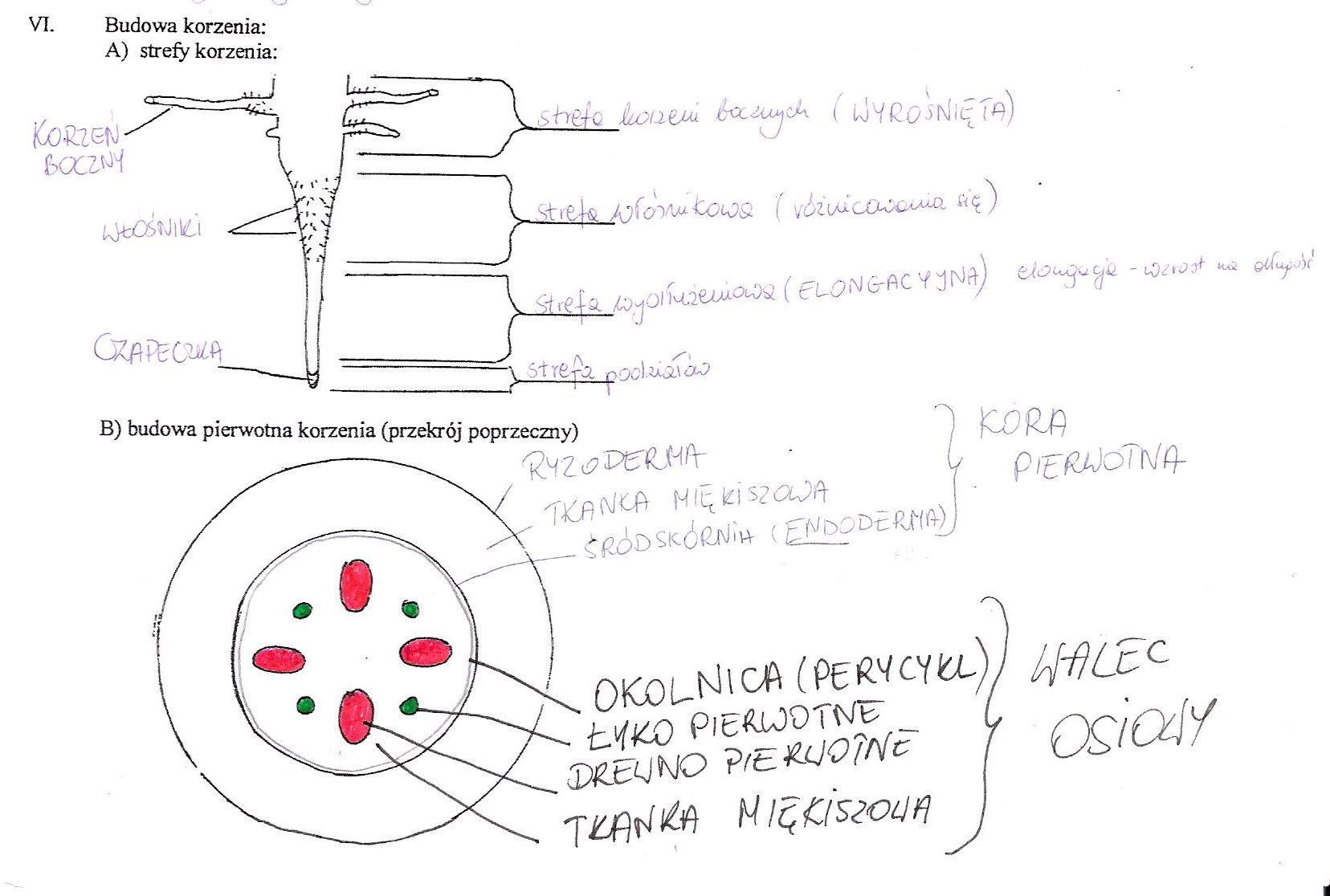 Opisz Budowe Anatomiczna I Morfologiczna Korzenia Lodygi Liscia I